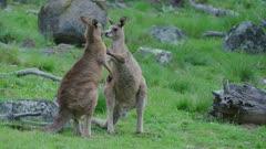 Two juvenile Eastern Grey Kangaroos looking play fighting