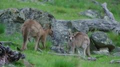 Two juvenile Eastern Grey Kangaroos courting