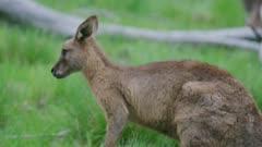 Female Eastern Grey Kangaroo walking slowly grazing