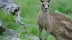 Male Eastern Grey Kangaroo chewing grass