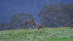 Kangaroos fighting on open grass plain