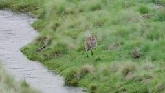 Eastern Grey Kangaroo Jumps over river creek
