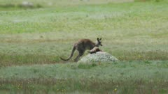An Eastern Grey Kangaroo mother mourns her dead joey