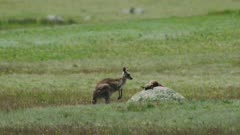 An Eastern Grey Kangaroo mother mourns the death of her joey