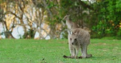 An Eastern Grey Kangaroo scratching face