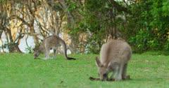 Two Eastern Grey Kangaroos grazing on green grass