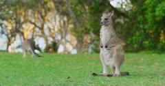 An Eastern Grey Kangaroo Joey looking around