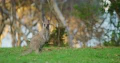 An Eastern Grey Kangaroo Joey hopping