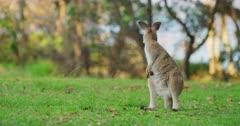 A baby Eastern Grey Kangaroo Joey looking alert