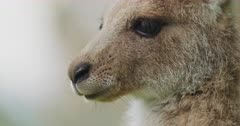 A close up of a baby Eastern Grey Kangaroo Joey chewing