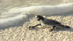 Sea Turtle Hatchling Enters Water