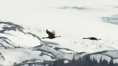 4k UHD aerial shot of Sandhill Cranes flying over the mountains in Alaska