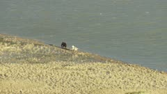 5k aerial ZatzWorks footage of Gray Wolf chasing a Brown Bear along a river bank