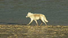 5k aerial ZatzWorks footage of a Gray Wolf running along a river in Alaska