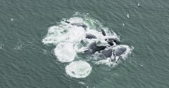 6k UHD aerials of humpback whales Bubble net feeding