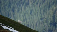 6k Aerial of Mountain Goat in Southeast Alaska Tongass National Forest