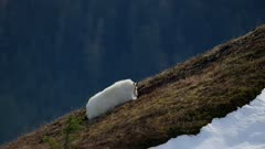 6k Aerial of Mountain Goat lying on the ground on a mountain in Southeast Alaska Tongass National Forest