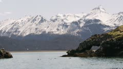 Sea Otters in Kachemak Bay, Alaska, with Kittiwake gulls flying nearby