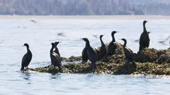 Seabirds, possibly Pelagic Cormorants, in Kachemak Bay, Alaska