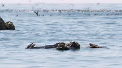 Sea Otters in Kachemak Bay, Alaska with Common Murres in the background; shot with stabilized gimbal