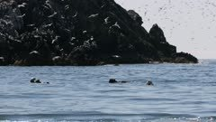 Sea Otters in Kachemak Bay, Alaska, with Kittiwake gulls flying overhead
