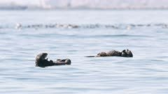 Sea Otters with pups and Common Murres in the background in Kachemak Bay, Alaska; shot with stabilized gimbal