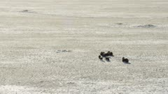 Musk Ox grazing on the snow covered tundra in northern Alaska
