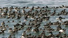 Large flock of Common Murres swimming in Kachemak Bay, Alaska