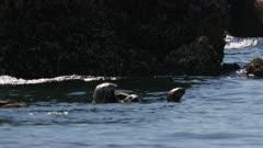 Sea Otters in Kachemak Bay, Alaska; shot with stabilized gimbal