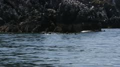 Common Murres and Black-legged Kittiwake Gulls roosting and flying near Sea Otters floating in Kachemak Bay, Alaska; shot with stabilized gimbal
