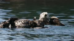 Sea Otters playing and grooming in Kachemak Bay, Alaska; shot with stabilized gimbal