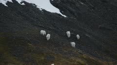 Aerial of Mountain Goats grazing on a mountain slope in Southeast Alaska