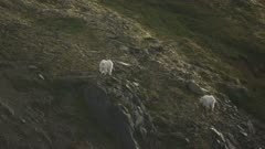 Aerial of Mountain Goats on a mountain slope, looking at the camera in Southeast Alaska