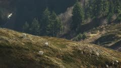 Aerial of Mountain Goats on a mountain slope in Southeast Alaska