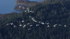 Swans migrating along the Southeast Alaskan coast near Glacier Bay National Park