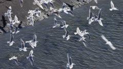 Aerial footage of Gulls flying over the Fox River Flats at Kachemak Bay, Alaska