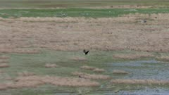 Aerial shot of a Bald Eagle flying over the Fox River Flats at Kachemak Bay, Alaska