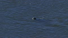 Aerial shot of Harbor Seals hunting for fish in an Alaskan river