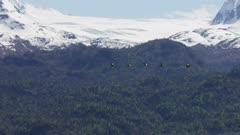 Sandhill Cranes flying over Kachemak Bay in the springtime, Alaska