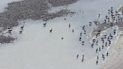 Canada and Greater White-fronted Geese migrating south near the Cook Inlet