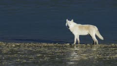 Gray Wolf traveling along a river tidal flat in Katmai National Park, Alaska