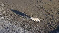 Gray Wolf traveling along a coastal river in Katmai National Park, Alaska