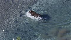 Grizzly Bear fishing in a shallow river in Katmai National Park, Alaska