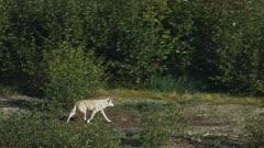 Gray Wolves traveling through the tundra in Katmai National Park, Alaska