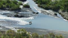 Gray Wolf crossing a river in Katmai National Park, Alaska