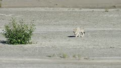 Gray Wolf traveling through a tidal flat rests under bushes in Katmai National Park, Alaska