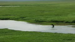 Aerial shot of a Moose in a pool of water on the Alaska North Slope near Brooks Range