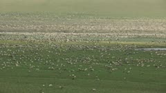 Aerial shot of a Porcupine Caribou herd in the Arctic National Wildlife Refuge's 1002 area