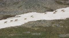 Porcupine Caribou herd walking on a frozen river in Arctic National Wildlife Refuge's 1002 area