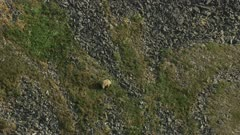 Bear, possibly a Grizzly, walking on the rocky tundra in the Arctic National Wildlife Refuge